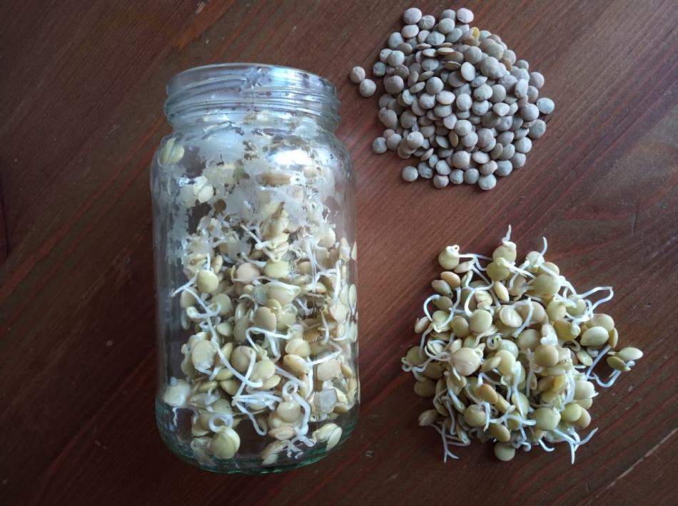 How to sprout beans and sow microgreens